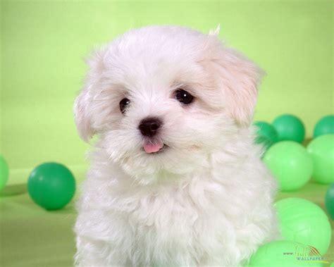 newborn dogs white baby wallpaper 15329