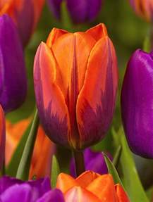 what color are tulips tulip slideshow tulip springgarden green colors pink