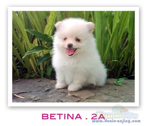 pocket pomeranian for sale dunia anjing jual anjing pomeranian mini pomeranian for sale betina 2