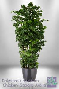 Foliage House Plant - 17 best images about ming aralia polyscias plants on pinterest trees office plants and the