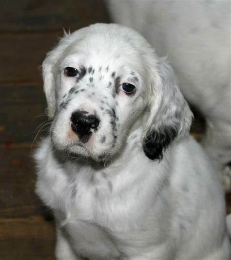 english setter girl dog names white english setter images