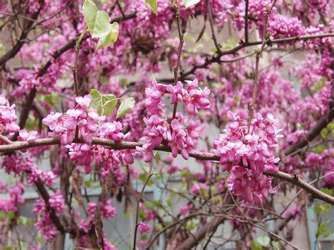 fruit nut and ornamental trees 101 pruning the eastern