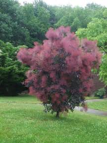 17 best images about smoke trees on pinterest trees civil wars and shrubs