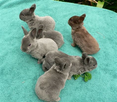 Bantal Peyang Baby Rabbit Blue 1000 images about mini rex rabbits on baby bunnies colors and pets