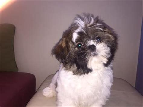 brown and black shih tzu black and brown shih tzu www pixshark images galleries with a bite