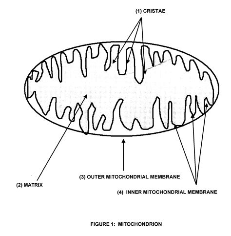 simple diagram of mitochondria image gallery mitochondria drawing