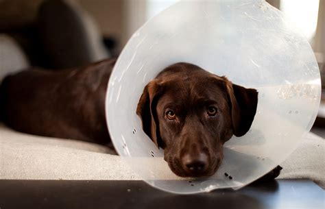 thyroid issues in dogs thyroid problems in dogs what you need to