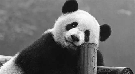 imagenes increibles en blanco y negro curiosidades de 5 animales que visten de blanco y negro