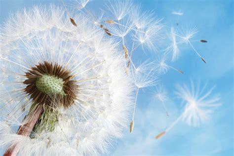 white dandelion flower www pixshark com images
