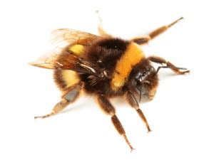 how to get rid of bees in house siding bumble bee control how to kill bumble bee out side house pestmall blog