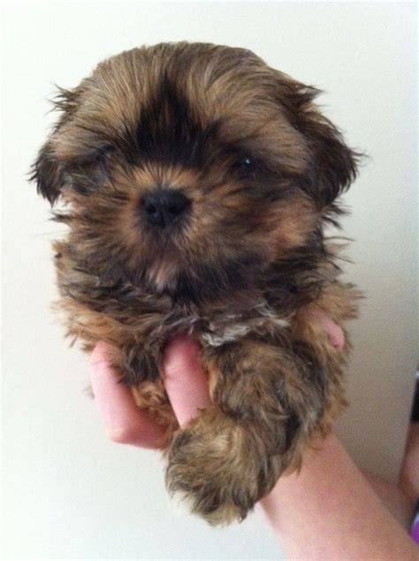 chocolate shih tzu for sale chocolate orange shih tzu puppy for sale hartlepool county durham pets4homes