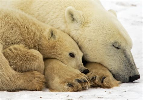 the polar bear captivity may cause stress for polar bears but arctic also poses problems pittsburgh post gazette