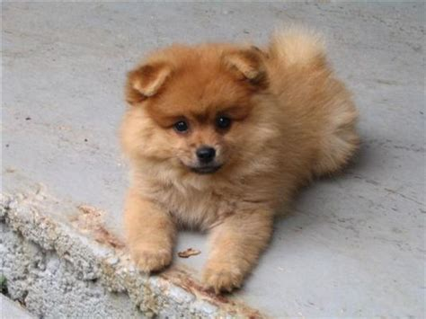 how big do pomeranian dogs get foxy the pomeranian puppy pictures daily