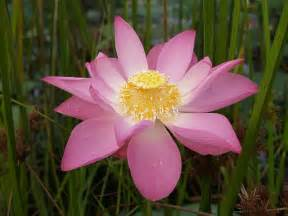 Lotus Flowrr Flower Picture Lotus Flower 1