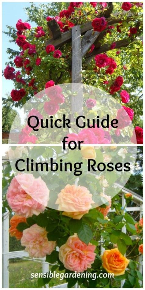 ideas for climbing rose supports 1000 images about climbing roses on gardens pink roses and cottages