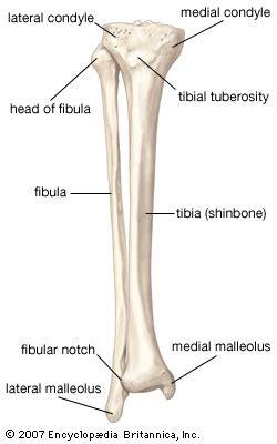 shin bone diagram fibula bone britannica