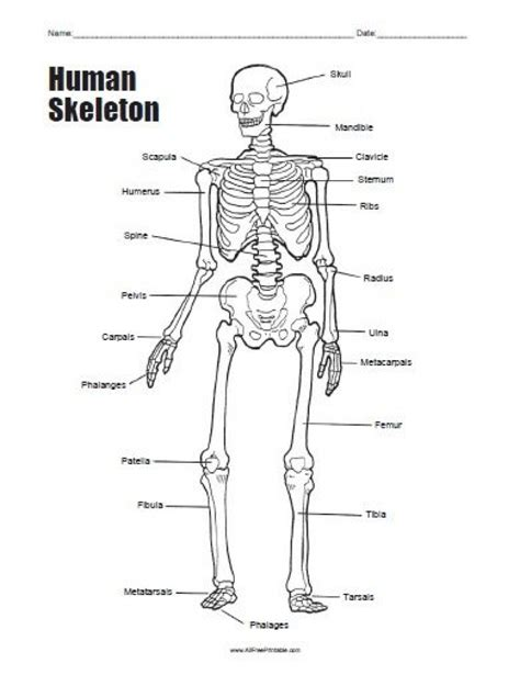 human skeleton bones worksheet defenderauto info