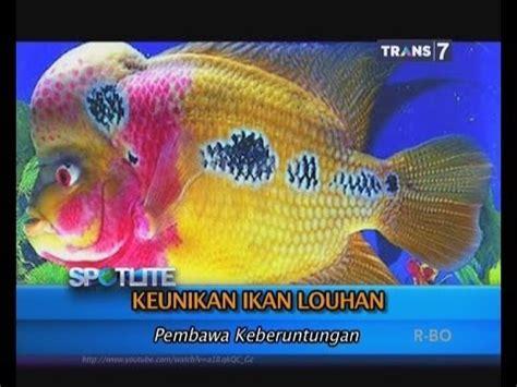 Pakan Ikan Louhan Agar Cepat Jenong 10 tips cara memelihara ikan louhan agar cepat jenong