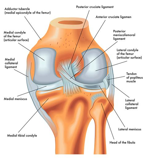 parts of knee diagram acl vs mcl pcl absolute wellness center
