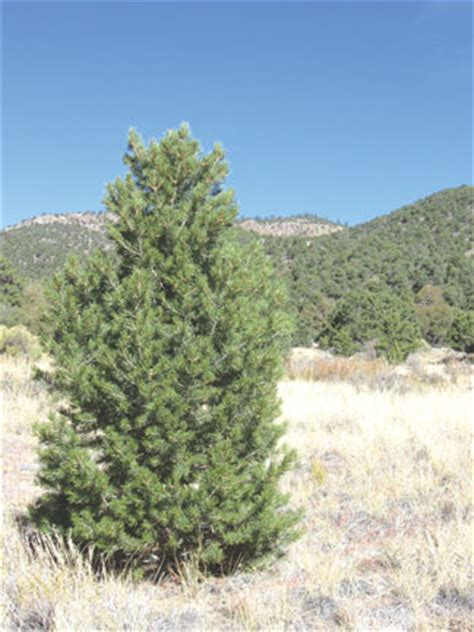 conditions are ripe for tree harvest themountainmail com