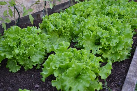 Free Images Food Harvest Produce Lettuce Plants Plants Vegetable Garden