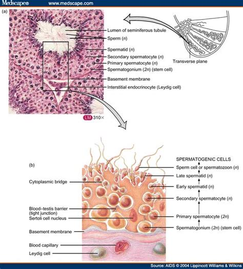 transverse section of mammalian testis new page 1 droualb faculty mjc edu