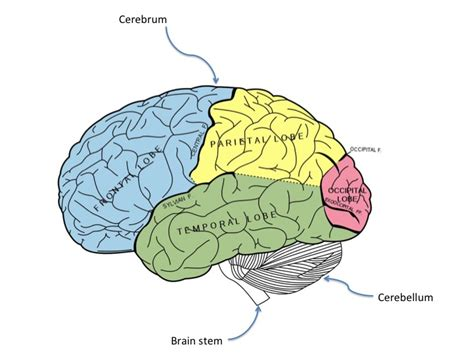brain tumor diagram brain cancer cancerquest