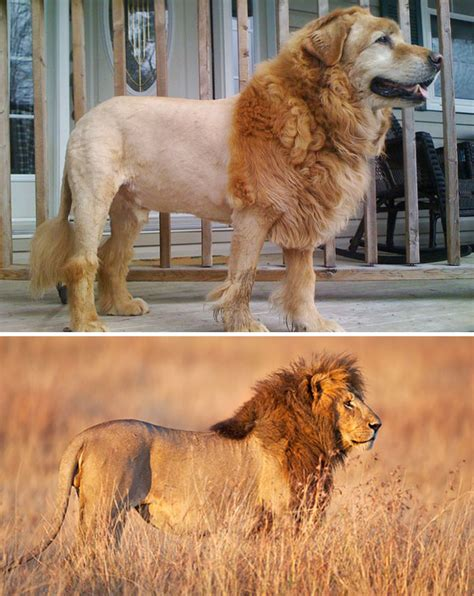 dogs that look like lions dogs that look like something else bored panda