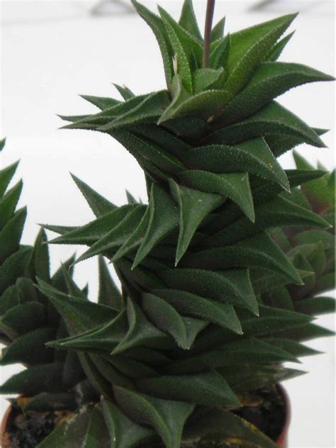succulent plants world of succulents haworthia viscosa world of succulents