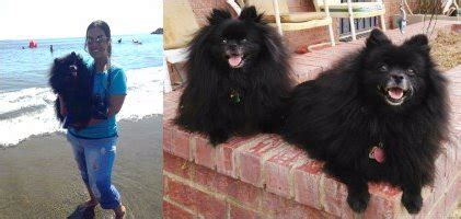 pomeranian standard size petpom throwback poms and big pomeranians