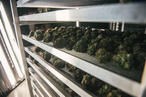 marijuana drying room photos inside a marijuana grow operation canadian geographic