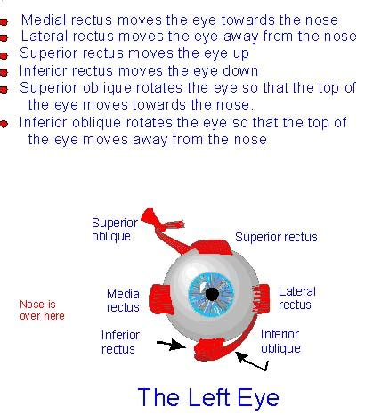 eye muscles diagram diagram of extraocular muscles