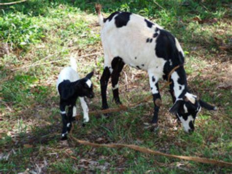 alimentazione per capre progetto capre