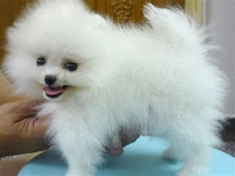 pomeranian puppies for sale in perth pomeranian puppies for sale for sale in perth western
