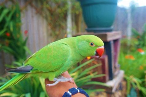beautiful hand tamed ringneck parrots for sale text 440