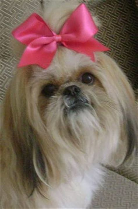 princess shih tzu 67 best images about my fur baby on costumes rubber duck and shih tzus