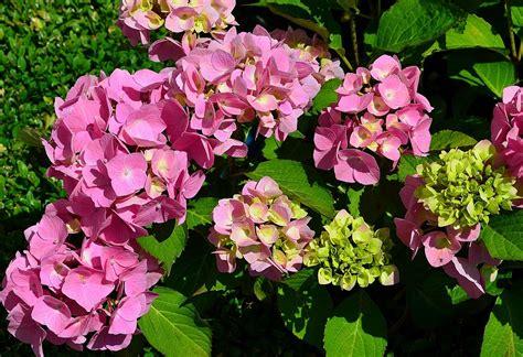 Tanaman Blue Mophead Hydrangea foto gratis hydrangea taman bunga gambar gratis di pixabay 1897602