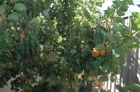 Fruit Tree Pruning Guide - apricot storeys early moorpark tree