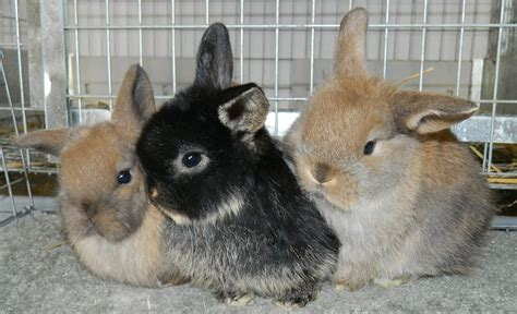about pet rhdv1 k5 what about my pet rabbit pestsmart connect