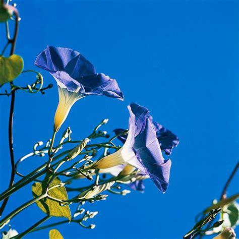 Die Schönsten Zimmerpflanzen 4396 by Die Sch 246 Nsten Blauen Blumen Im Garten Anbauen