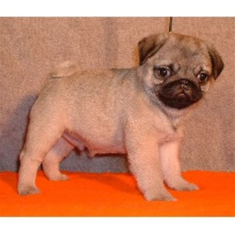 canadian pug breeders jimary perm reg d pug breeder in kerwood ontario n0m 2b0 freedoglistings id