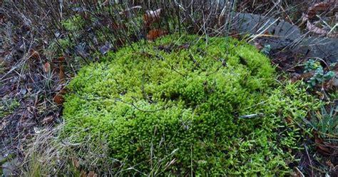 paardenstaarten in de tuin spinrag mossen 1 in je tuin