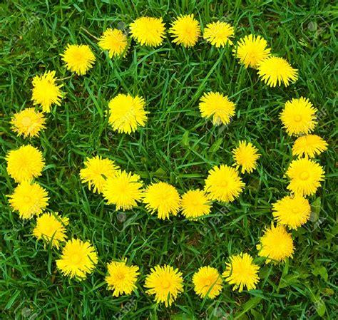 Jual Bibit Bunga Dandelion jual bibit benih seeds dandelion yellow bunga kuning cantik amefurashi