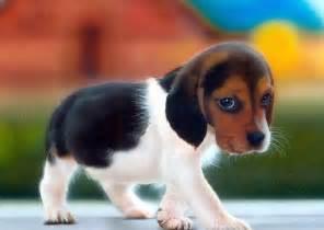 very small beagle hound puppies dog breeds puppies beagle hound puppies intelligent escape