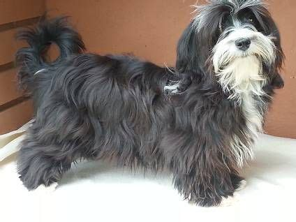 havanese black and white 1000 images about havanese dogs on cuba bar and search