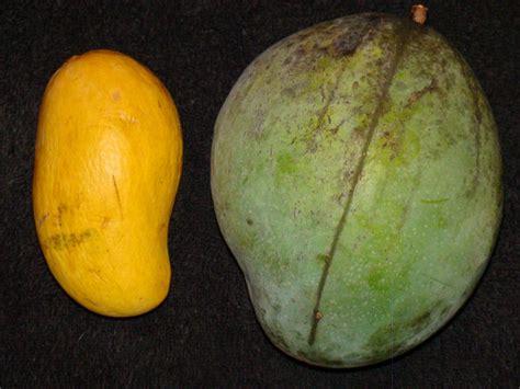 Usda Home Search keitt mango wikipedia