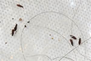Grain Bugs In Pantry by Merchant Grain Beetles What S That Bug