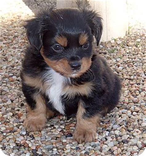 pomeranian king charles spaniel mix diesel adopted puppy la habra heights ca king charles spaniel pomeranian mix