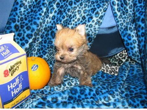 free puppies in milwaukee morkies aka yorktese puppies home grown for sale adoption from milwaukee illinois cook