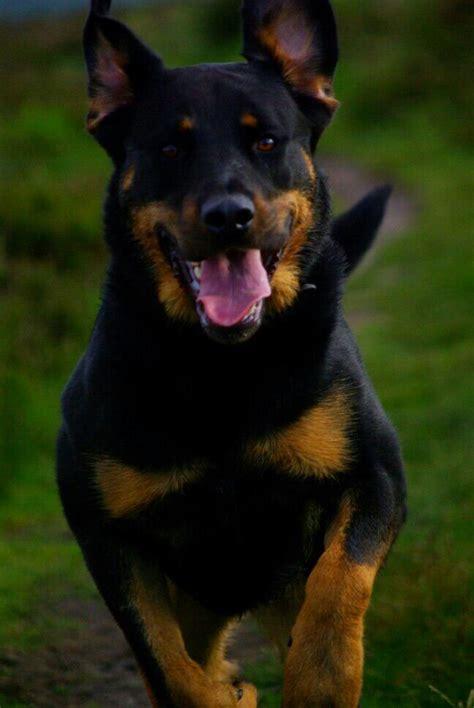 siberian husky german shepherd rottweiler mix german shepherd foxhound mix breeds picture